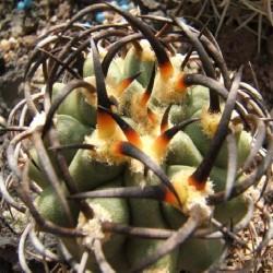 Echinocactus auratus