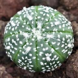 Astrophytum asterias cv Syowa Super