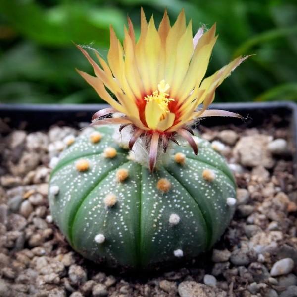 Astrophytum Asterias Gonzales Seeds