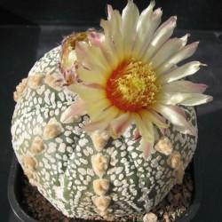 Astrophytum asterias cv Hanaizumi