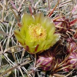 Ferocactus orcuttii