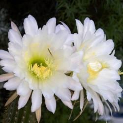 """Echinopsis """"White Flower"""""""