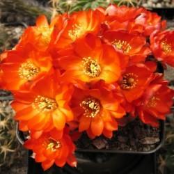 Echinocactus steinmannii