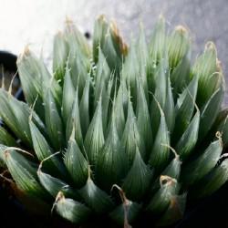 Haworthia specksii