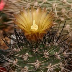 Echinocactus strausianus