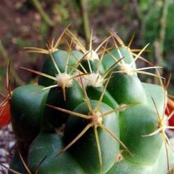 Escobaria guerkeana