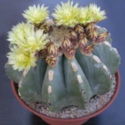 Ferocactus glaucescens v. inermis