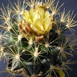 Pediocactus brevihamatus ssp. tobuschii