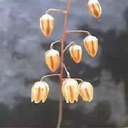 Drimia convallarioides