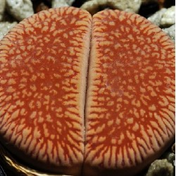 Lithops aucampiae ssp. euniceae