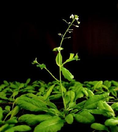 Arabidopsis thaliana